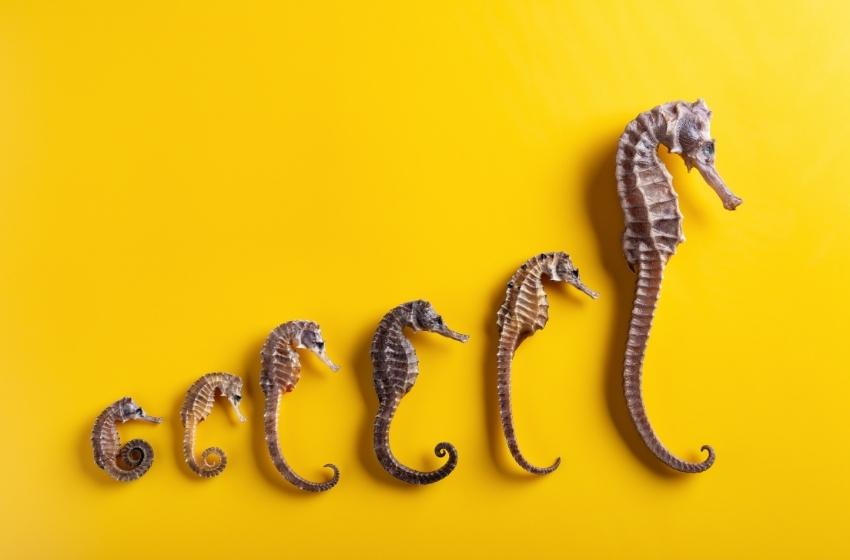 Secrets of the Black Sea: what is the fate of seahorse?